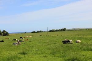 cows dungarvan