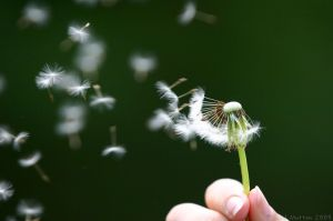 dandelion_seeds_being_blown