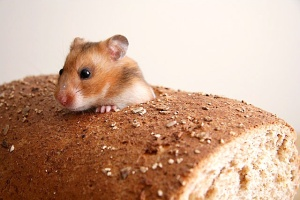 mouse in bread