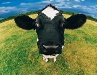 Organic-Cow