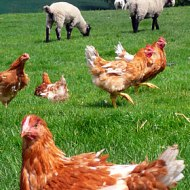 Free range hens and pastured sheep