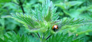 lady bug on nettle best shot